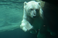 Polar bear playing underwater. Vienna Zoo. Photo: ©Slowaholic