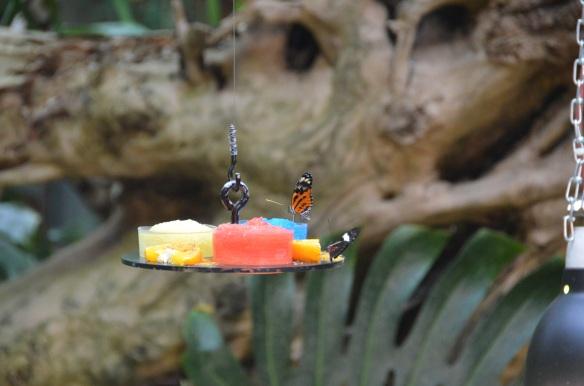 Fluturi. Zoo Viena, Austria Butterflies. Vienna Zoo, Austria Foto: ©SLOWAHOLIC