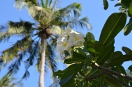 Plumeria. Ko Phi Phi. Foto: ©Slowaholic