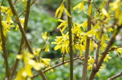 Forsythia. Photo: ©Slowaholic