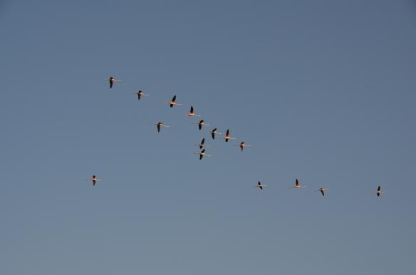 Flamingo în zbor. Parc Ornitologic Saintes Maries de la Mer, Camargue, Franța. Foto: ©Slowaholic
